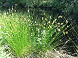 Juncus effusus (Soft Rush), 1 Gal