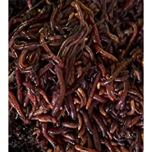 Cheap Worms For Sale 100 Red Compost Worms