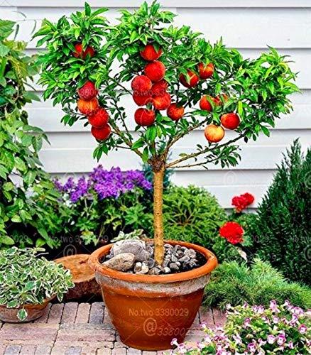 (Seed 2pcs Honey Peach Bonsai Persica Perennial Dwarf Meltingfleshed Peach Tree Delicious Fruit Bonsai for Home Garden Plants)