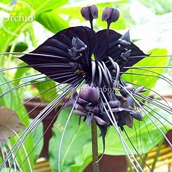 2018 Hot vente Rare \'Tête de chat Barbe\' orchidée noire Fleurs ...