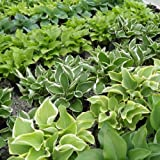 30+ Seeds of Hosta Mix - From Over 30 Beautiful Parent Varieties - Expect a wide variety of sizes (heights and widths), leaf colors and shapes!