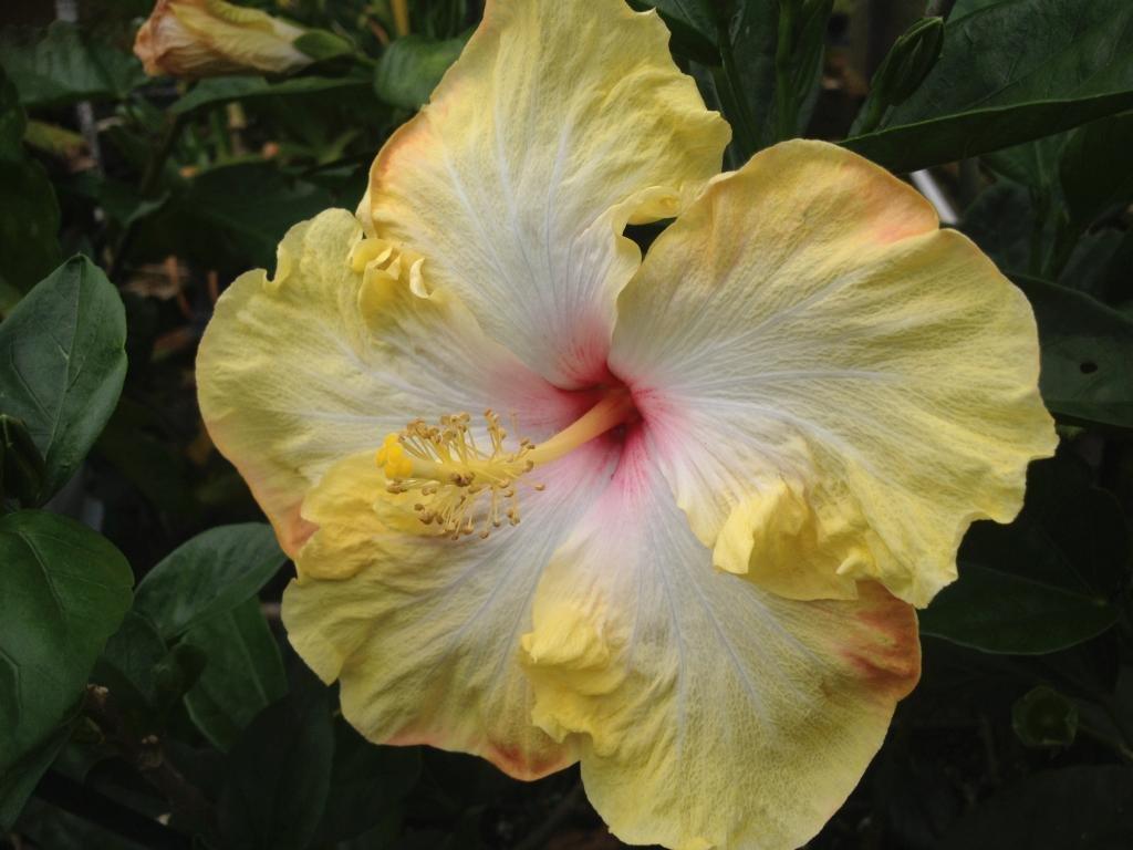 Amazon Evangeline Or Evangaline Tropical Exotic Fancy Hibiscus