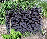 Purple Passion Spinach 100 Seeds - Old but NEW! -Veggie - Hirts Gardens