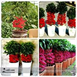 Go Garden Ardisia crenata Bonsai Christmas Berry Ornamental Perennial Tree, 10pcs/ Pack, Coralberry Tree