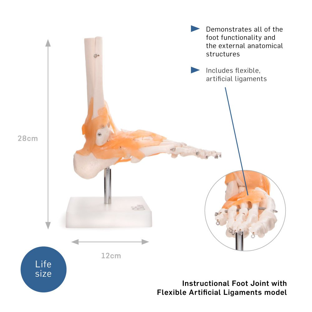 66fit Anatomical Human Foot Joint With Ligaments Medical