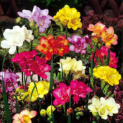 Freesia double flowering mix – 20 flower bulbs