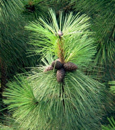 - Ponderosa Pine, Pinus Ponderosa, 30 Tree Seeds (Fast, Hardy, Fragrant Evergreen)