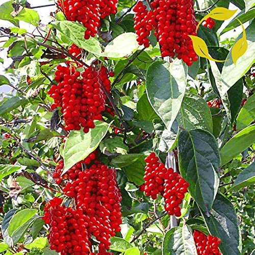 MAGNOLIA VINE Schisandra Chinensis 10,20,40 SEEDS by SS0053