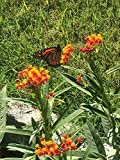 """MILKWEED SEEDS (ASCLEPIAS CURASSAVICA) """"BLOODFLOWER"""" THE FAVORITE OF MONARCH BUTTERFLIES VIVID RED AND GOLD APPROX 100 SEEDS"""