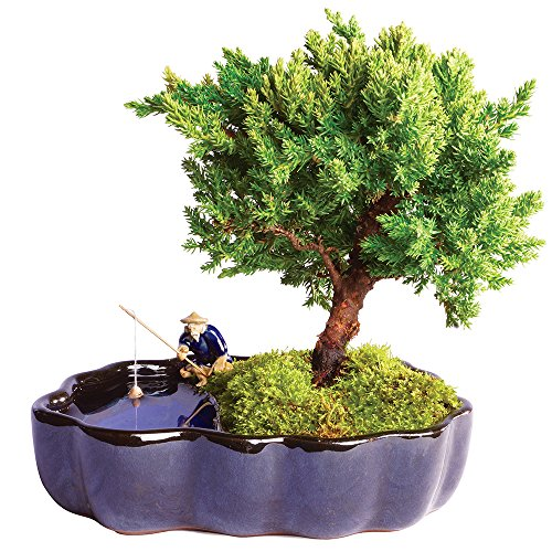 Brussel's Green Mound Juniper Bonsai in Zen Reflections Pot - Not sold in California