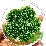 Planterest - Hedyotis Salzmannii Nutri Cup Live Aquarium Plant Easy for Beginner Decorations BUY2GET1FREE