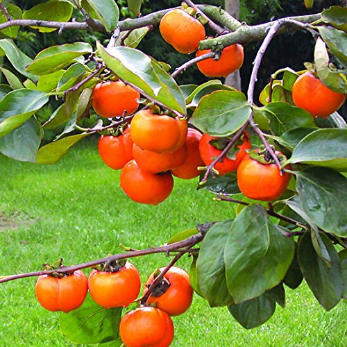 Sale New Rare Persimmon Seed Organic Non-GMO Juicy Succulent fruit trees Plant for Flower Pot Planters 20pcs / bag Persimmon Trees Seeds