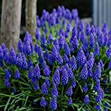 30 Seeds Muscari armeniacum - Perennial Grape Hyacinth. Beautiful Flower Spikes with Tender Blue Bell Like Flowers.