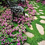 Baby's Tears, Angel's tears Plant Beautiful Ground Cover Moss...