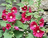 HOLLYHOCK, PINK, RED & YELLOW 100 SEEDS ORGANIC HEIRLOOM,BEAUTIFUL