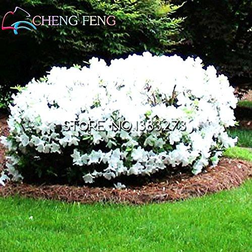 50 PC / bag Rare Bonsai Azalee sät DIY Haus & Garten Samen Pflanzen China Essbare Lilien-Blumen-Dekoration Sementes Balkonkasten