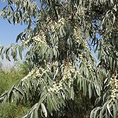 Russian Olive Tree Seeds (Elaeagnus angustifolia) 5+Seeds : Garden & Outdoor