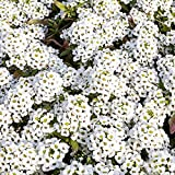 Outsidepride Alyssum Sweet - 5000 Seeds