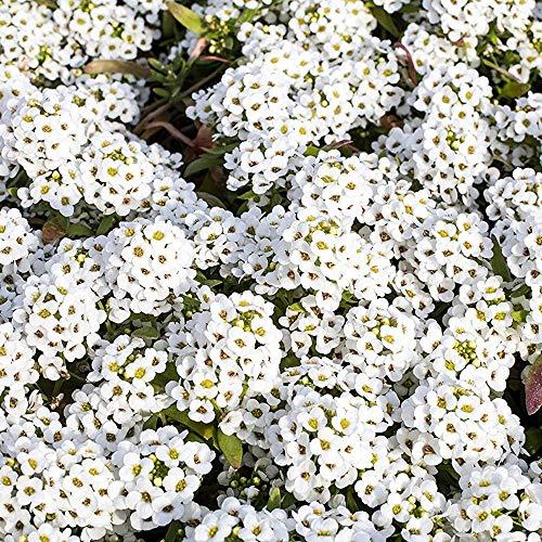 Outsidepride Alyssum Sweet  5000 Seeds