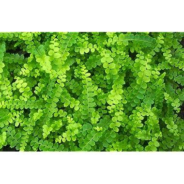 Hirt's Lemon Button Fern 4  Pot - Nephrolepis cordifolia Duffii