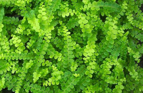 Hirt 39 s lemon button fern 4 pot nephrolepis cordifolia for Lemon button