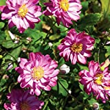 Pretty Lady Julia Japanese Anemone - Windflower - Fall Flowering - Gallon Pot