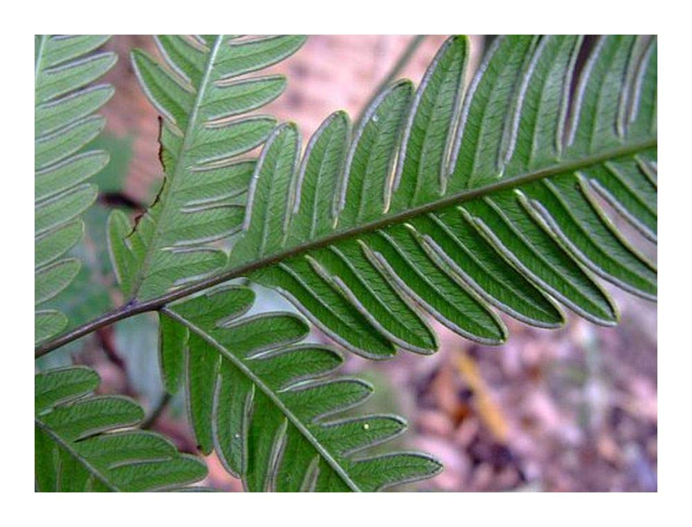 Pteris biaurita - fern - 100 seeds Exotic Plants
