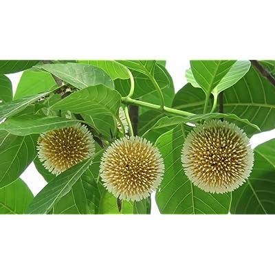 Kadam Tree 20 Seeds -Orange Flowers - Free Us Shipping - Sweet Fragrance- Attracts Butterflies- Evergreentropical -Neolamarckia Cadamba : Garden & Outdoor