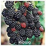 100 Kiowa Blackberry Seeds