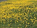 Goldfields - Carpet of Low Growing Yellow Daisy Type of Wildflower for Sandy and Dry Clay Soils