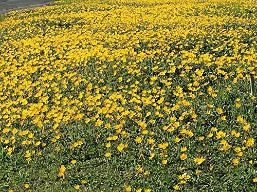 23,000 Goldfields Seeds - Carpet of Low Growing Yellow Daisy Type of Wildflower for Sandy and Dry Clay (Wild Daisy)