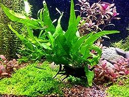 Greenpro Java Fern on Driftwood Live Aquarium Plants for Freshwater Fish Tank Water Plants Decorations