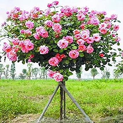 Amazon new rare hierloom xia feng man big pink rose tree 50 new rare hierloom xia feng man big pink rose tree 50 seeds professional mightylinksfo