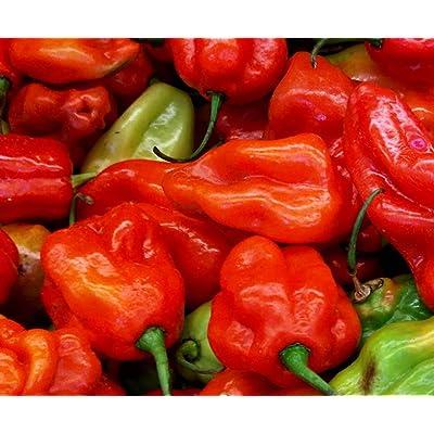 Aji Dulce Red Sweet Venezuelan National Pepper Premium Seed Packet + More : Garden & Outdoor