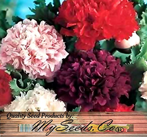 BIG PACK - (100,000+) POPPY PEONY DOUBLE MIX - Papaver Paeoniflorum POPPY Seed - Flower Seeds By MySeeds.Co (Big Pack - Peony Poppy) (Peony Poppy)
