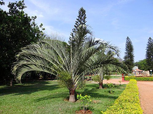 LAMINATED POSTER Bangalore Lalbagh Botanical Palm Park Trees Garden Poster Print 24 x 36 (Garden Bangalore Furniture)