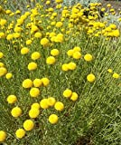 25 Seeds Santolina Lavender Cotton Rosmarinifolia Perennial