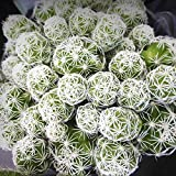 Miniature Fairy Garden Mammillaria gracilis fragilis, Thimble Cactus - My Mini Garden Dollhouse Accessories for Outdoor or House Decor