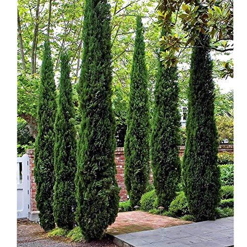 Italian Cypress Tree (Cupressus ) - 4 Inch Pot ()