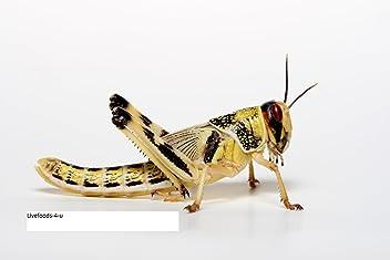 14-18mm livefoods4u Live Brown Silent Crickets Large Bulk Bag of 500
