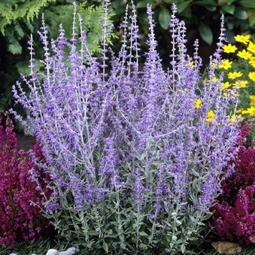 3 X PEROVSKIA 'BLUE SPIRE' RUSSIAN SAGE DECIDUOUS SHRUB HARDY PLANT IN POT Gardener's Dream
