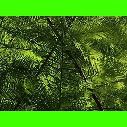 green-chimera-single