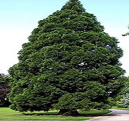 giant sequoia seed sequoiadendron giganteum tree seeds christmas tree evergreen fast growing