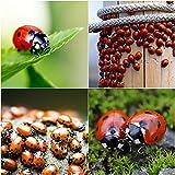 Bazos 750 Live Ladybugs - Good Bugs - Ladybugs