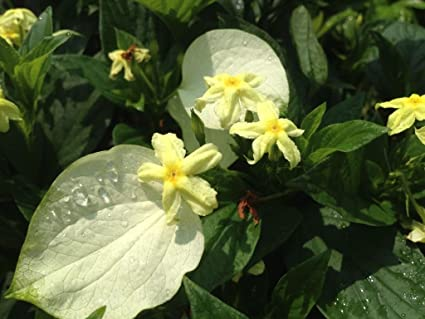 Amazon Mussaenda Glabra White Winged Unusual Yellow Flowering
