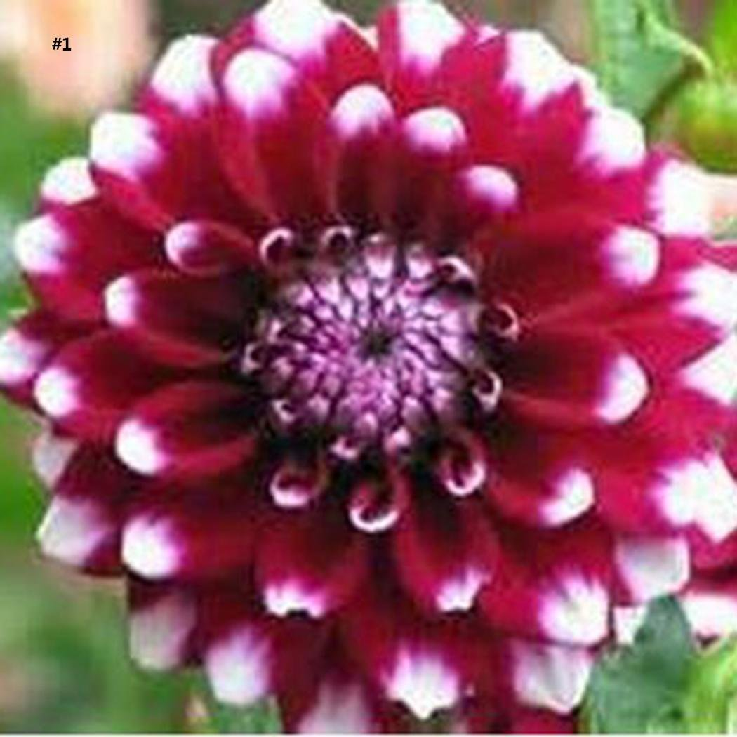 Amazon Meflying 20 Particle Dahlia Pinnata Flowers Seeds