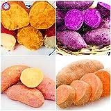 Shopmeeko 100pcs Purple Sweet Potatoes Ipomoea Batatas Delicious Ingredients Organic Non-GMO Vegetable for Yard& Farm Planting: Mix
