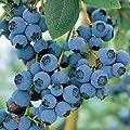 """Blue Crop Blueberry Plant - Large/Delicious/Midseason - 2 .5"""" Pot"""