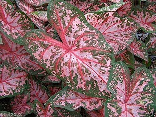 Easy 2 Grow,Inside or Out,Great in containers Carolyn Whorton Caladium 6 Bulbs