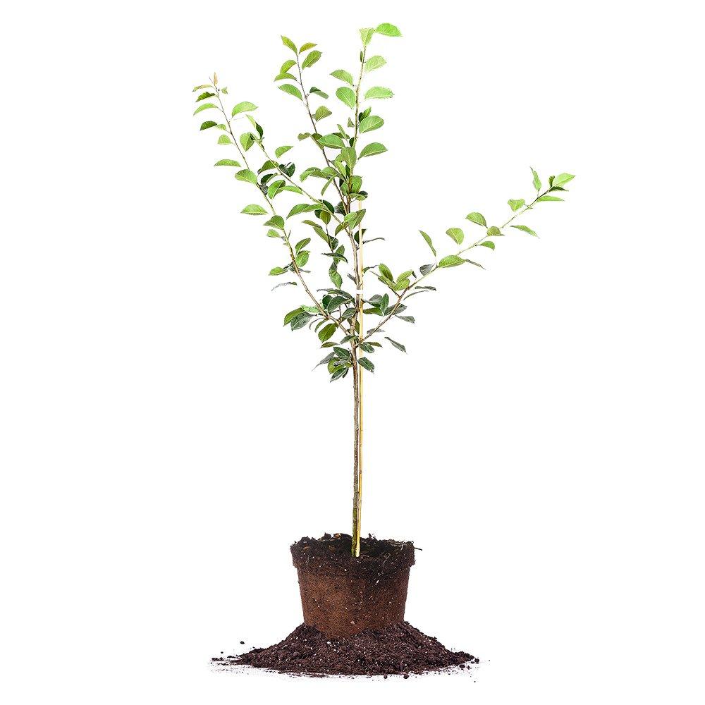 ORIENT PEAR TREE - Size: 5-6 ft, live plant, includes special blend fertilizer & planting guide